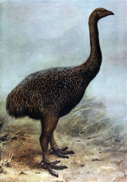 The extinct bird, the moa