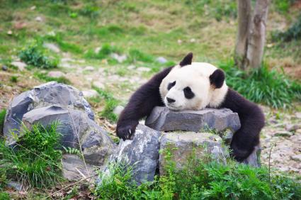 A sad panda